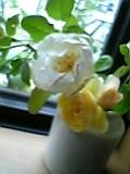 お庭のバラ。