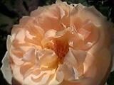 秋薔薇-2。
