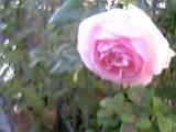秋薔薇‐4。