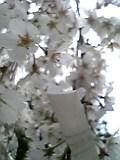 奈良でお花見。