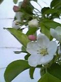 林檎の花。