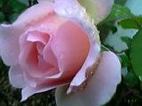 薔薇 2。