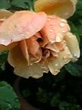 薔薇 6。