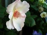 薔薇 7。