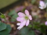キンポウゲ科のお花。